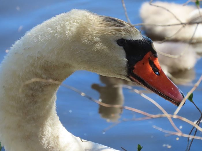 Male mute swan standing guard at his family's side headshot closeup Birds of EyeEm beauty in nature bare tree branches water reflections Animal Themes Animal Wildlife Animal Bird Water Bird No People