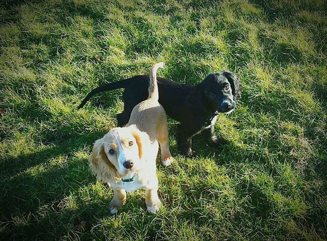 Two brothers brodie and morgan 😊💖🐾 Puppies Brothersforlife Bestfriends Cockerspaniel I Love My Dog Ying And Yang Furbaby Summer Dogs