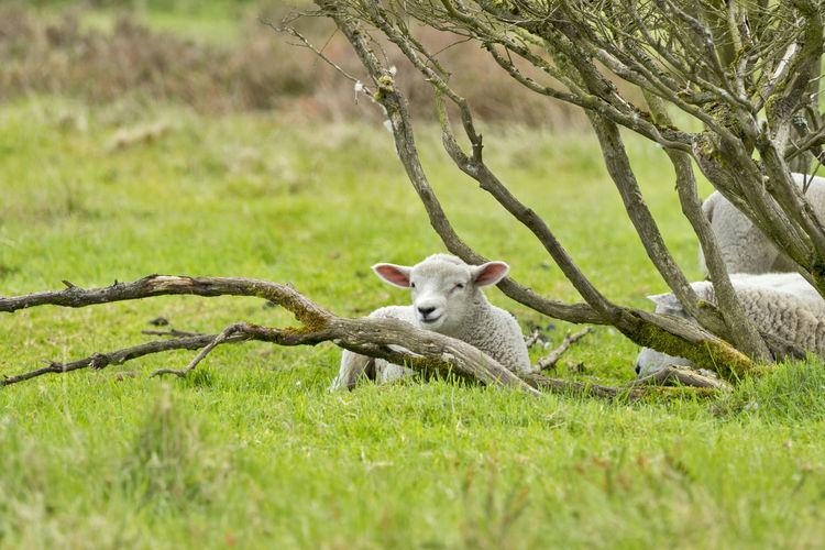 A lamb on green