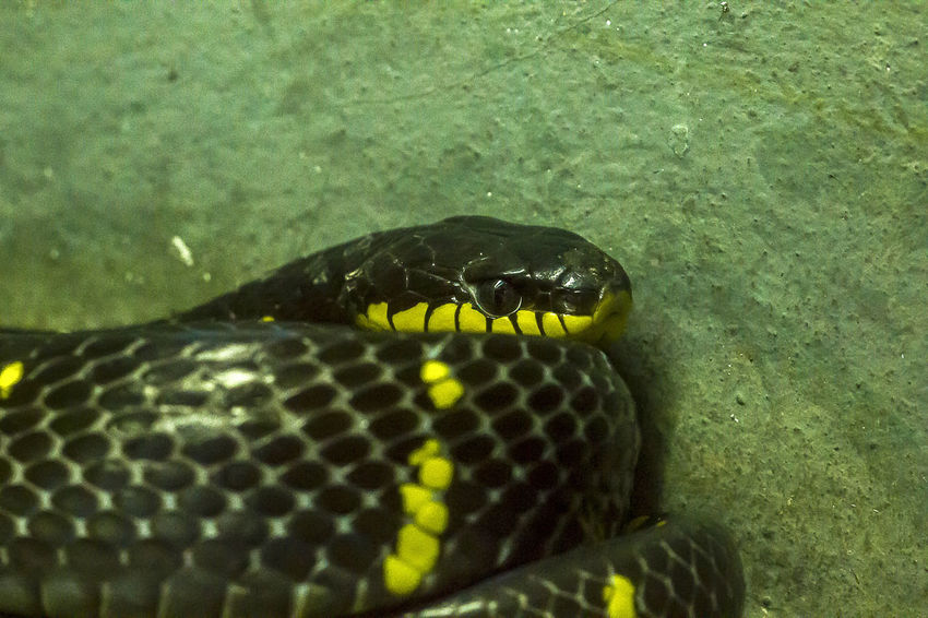Snake Eyes Animal Animal Body Part Animal Head  Animal Mouth Animal Scale Animal Themes Animal Wildlife Animals In The Wild Close-up Day Green Color Marine Mouth Open Nature No People One Animal Reptile Sea Snake Snake Eyes Snake Eyes.  Swimming Underwater Vertebrate Water