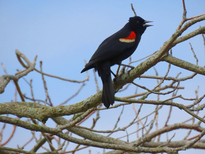 Redwing black bird perched on a bare tree branch chirping side view blue sky beauty in nature animal themes birds of EyeEm One Animal Low Angle View No People