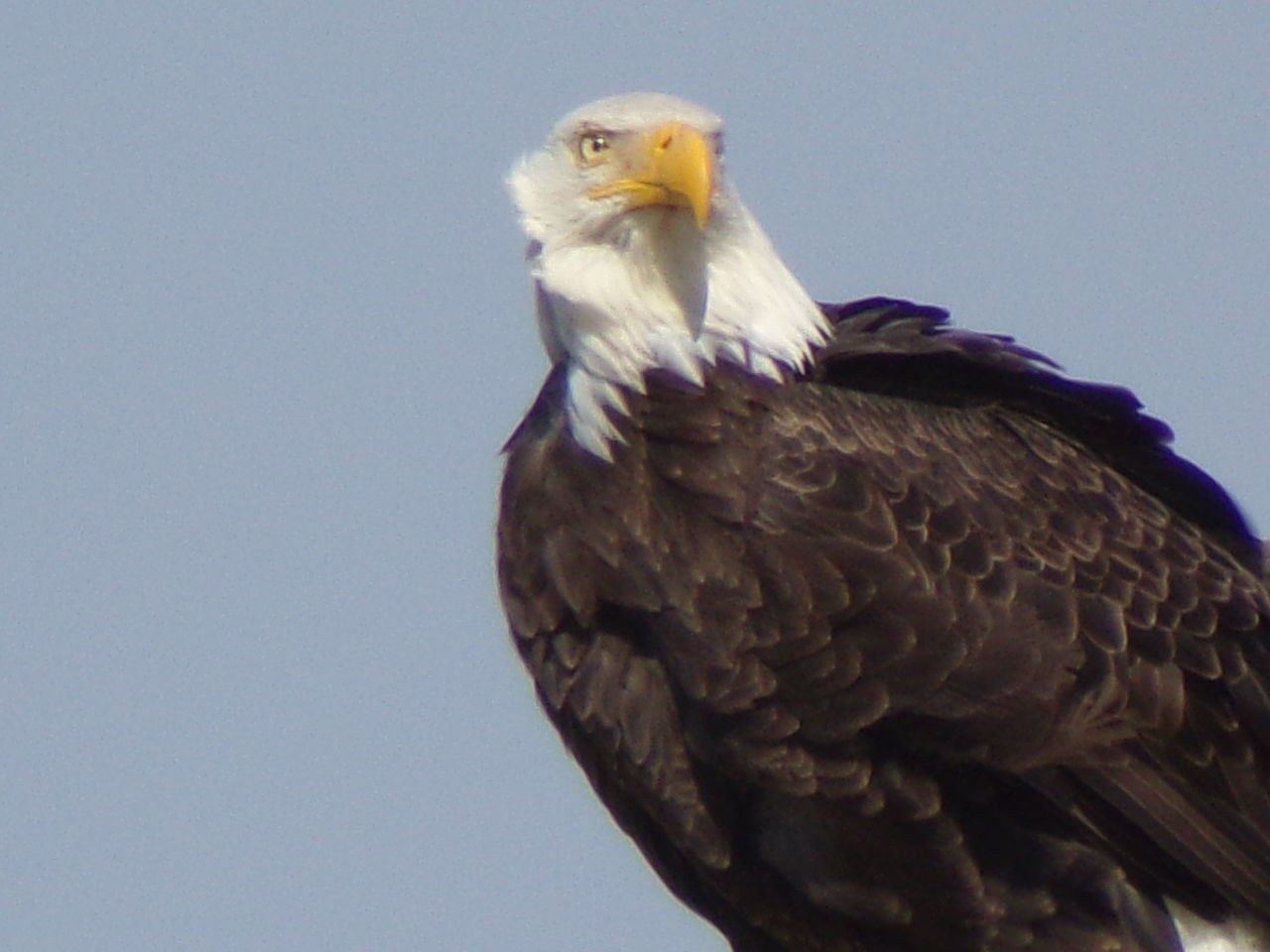 animal themes, bird, animal, one animal, animal wildlife, vertebrate, animals in the wild, clear sky, bird of prey, low angle view, sky, eagle, nature, no people, copy space, day, eagle - bird, beak, close-up, blue