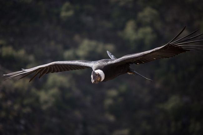 Animal Wildlife Aves Bird Birds Colors Cóndor  Day Flying One Animal Vuelo Vuelo De Aves
