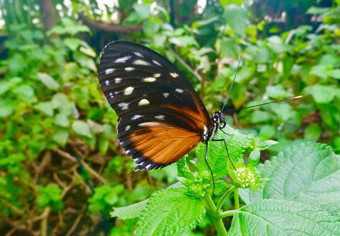 Butterfly Whipsnade Zoo Butterfly - Insect Insect Animals In The Wild One Animal Animal Themes Nature Plant Leaf Growth Green Color Outdoors Animal Wildlife Close-up No People Focus On Foreground Beauty In Nature Animal Markings Day Freshness