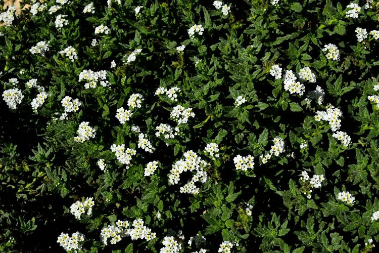 White flowering plants on field