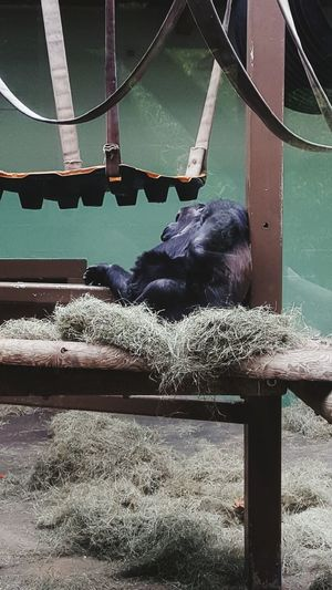 All tuckered out KnoxvilleZoo Tennessee Gorilla