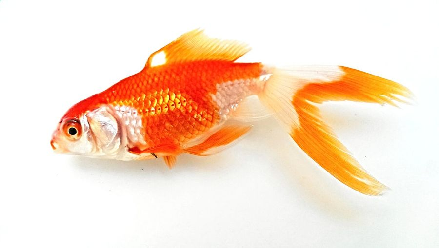 Goldfish Animal Animal Fin Animal Themes Carp Close-up Fish Fishbowl Goldfish GoldFish! No People One Animal Pets Sea Life Seafood Swimming Water White Background