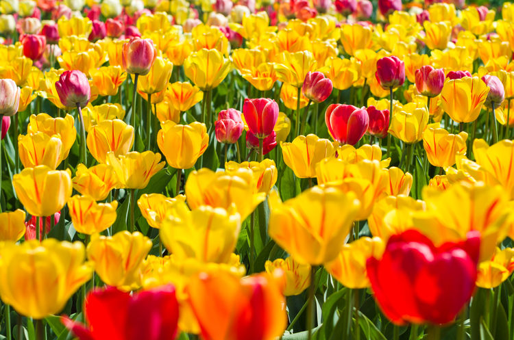 Yellow and red tulips Beauty In Nature Blooming Day Flower Flower Head Growth Multi Colored Nature No People Outdoors Plant Red Springtime Tulip Vibrant Color Yellow