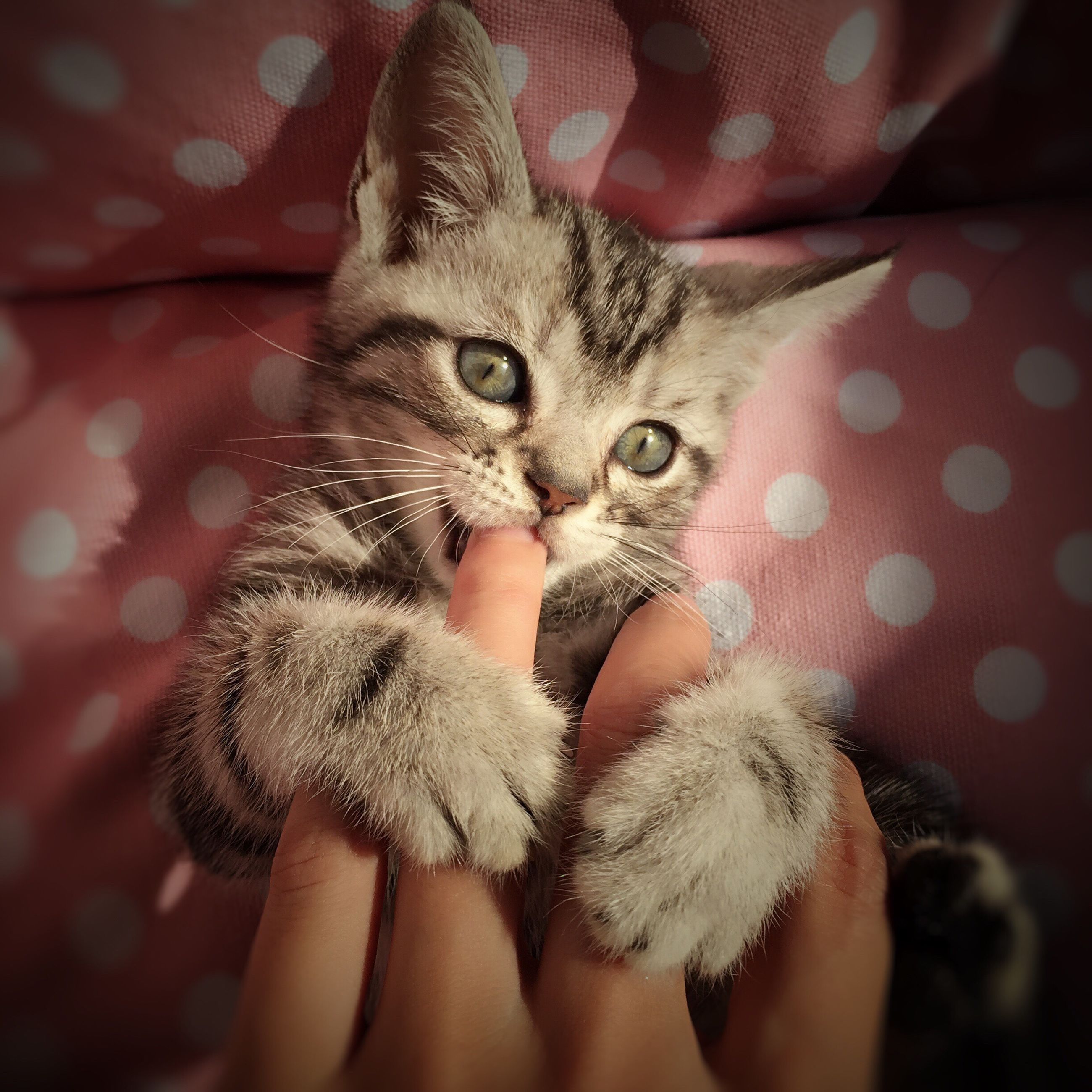 pets, domestic animals, animal themes, one animal, domestic cat, indoors, mammal, cat, person, feline, whisker, part of, young animal, pet owner, kitten, holding, close-up