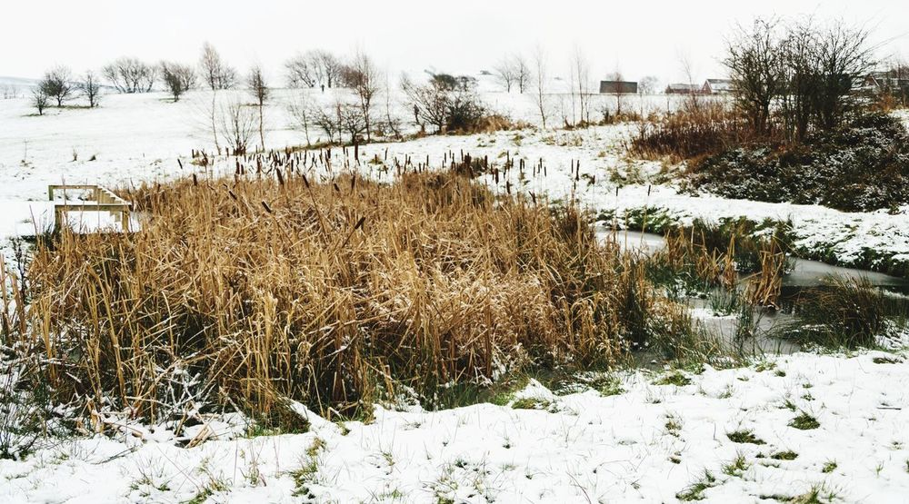 Stalybridge Gorse Hall Walking Around Reeds Winter Snow Cold Temperature Nature Outdoors Day No People Beauty In Nature Grass