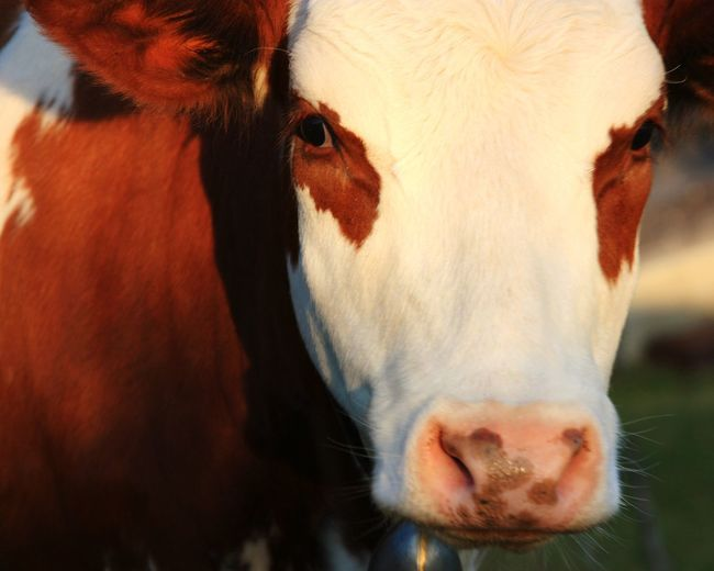 Livestock Agriculture Cow Domestic Animals Animal Head  Animal Body Part Animal Farm Cattle Close-up Looking At Camera Portrait Animal Nose Outdoors No People One Animal Drink Mammal Day Animal Themes Beauty In Nature EyeEm Best Shots - Nature Evening Glow Nature Sundown