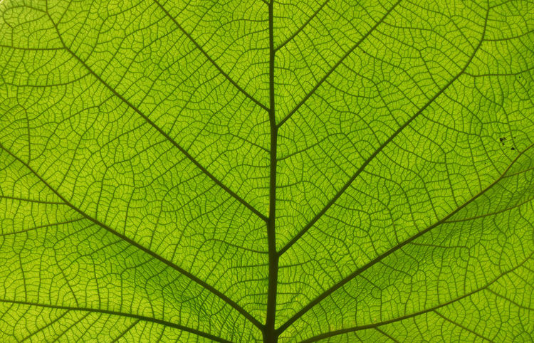 Green natural leaf, photosynthesis, close up Backgrounds Biological Biology Biology Class Close-up Day Fragility Fresh Freshness Freshness Full Frame Green Green Color Green Color Greenery Leaf Macro Macro Photography Nature No People Outdoors Photosynthesis Spring Springtime Summer