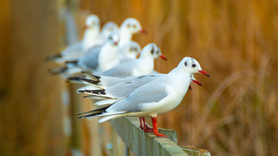 Black headed gulls in winter plumage close up of bird and birds perched on lake bridge handrail