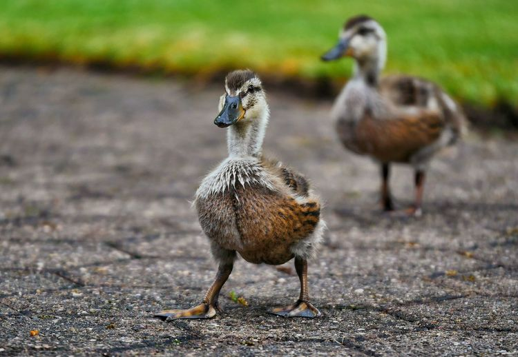 Ducklings on road