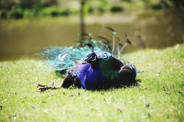 View of peacock on land
