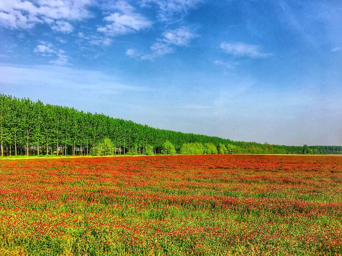 Trifoglio Plant Growth Field Cloud - Sky Sky Agriculture Landscape Land Beauty In Nature Nature Rural Scene Flower Environment Tranquil Scene Tranquility Scenics - Nature Farm No People Freshness Day