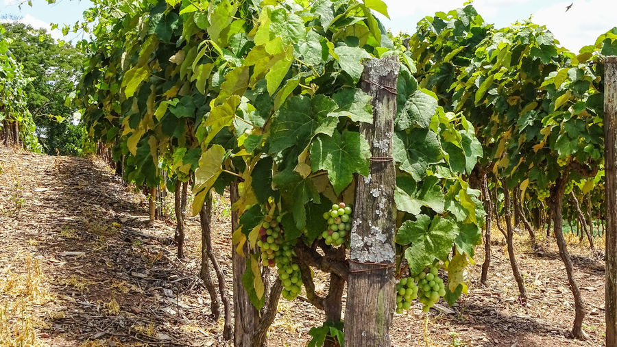ezefer Plant Growth Green Color Tree Nature Plant Part Day Leaf No People Land Vineyard Field Tranquility Agriculture Beauty In Nature Outdoors Rural Scene Crop  Winemaking Food And Drink Plantation Jundiaí Winery Grapes Grape