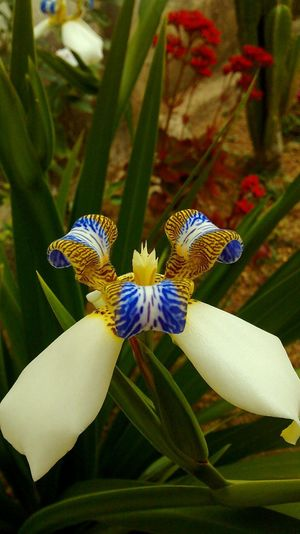 Flower Flowering Plant Plant Beauty In Nature Flower Head Freshness Close-up Nature Petal No People Vulnerability  Fragility Iris - Plant Orchid
