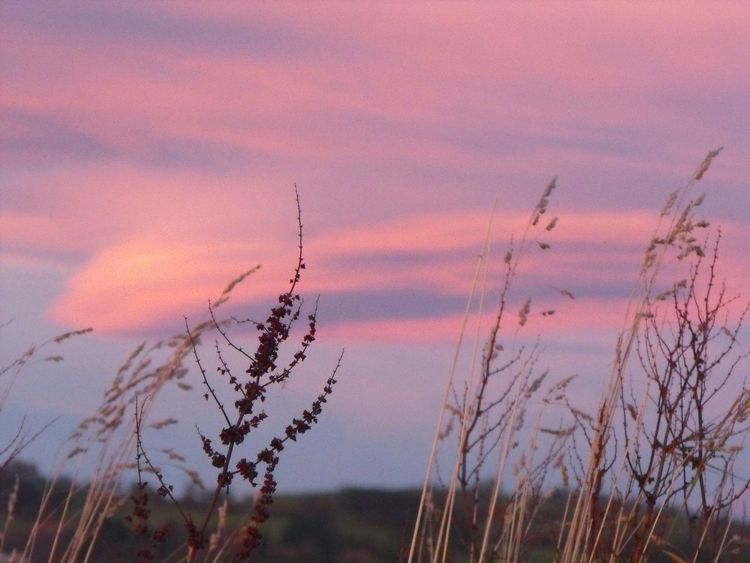 Maybe... Random Cloud Sunset Sunrise Grass Weeds Wildflowers Seeds Pink Pastel Lenticular Wales Newtown Powys утро травы облака Morning Herbes