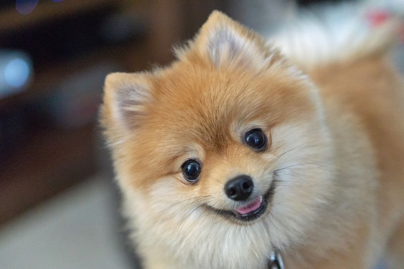 Pommy Dog Animal Themes Domestic Mammal Animal Portrait One Animal Pets Canine Dog Looking At Camera Vertebrate Domestic Animals High Angle View No People Indoors  Close-up Animal Body Part Focus On Foreground Animal Head  Pomeranian