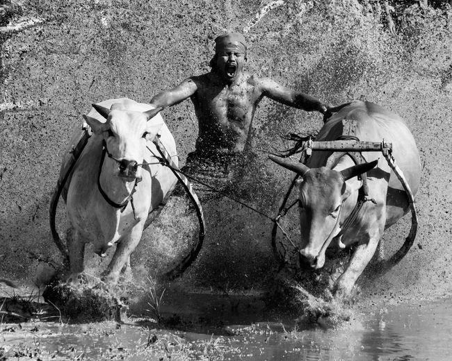 View Of Man And Two Cows Splashing In Water