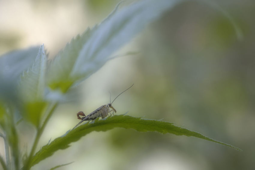 Orton Effect Panorpa Communis Animal Themes Animal Wildlife Animals In The Wild Close-up Day Green Color Insect Leaf Male Nature No People One Animal Outdoors