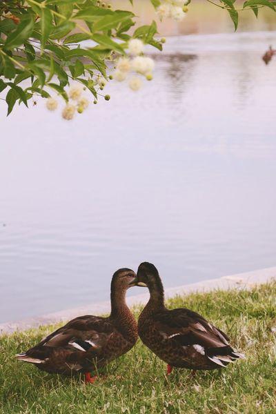 Ducks Pond Nature Wildlife