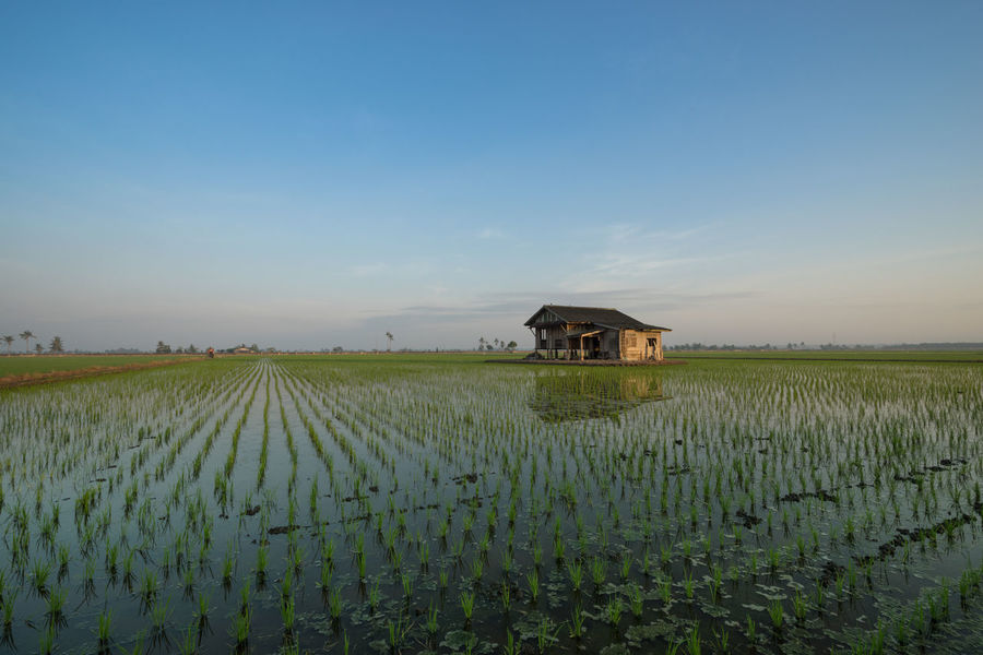 Abandoned wooden house in middle of paddy field with a sunrise sky in the background. Agriculture Architecture Beauty In Nature Blue Crop  Day Farm Farmhouse Field Grass Green Green Color Growth Landscape Nature Plant Rice Paddy Rural Scene Scenics Sky Surface Level Tranquil Scene Tranquility Water Waterfront