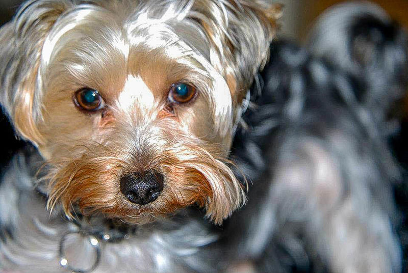 Animal Photography EyeEm Nature Lover YorkieBestShots DogLover❤💓💜🐾 Ilovemydog Yorkie ♥ Man's Best Friend