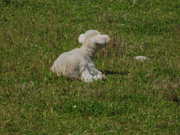 Lamb Motherhood
