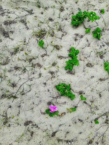 Flower on a beach Sand Beach Day No People Outdoors Nature Close-up Flower On Sand Petal Flower Petal Sand Flowers Blossomed Investing In Quality Of Life
