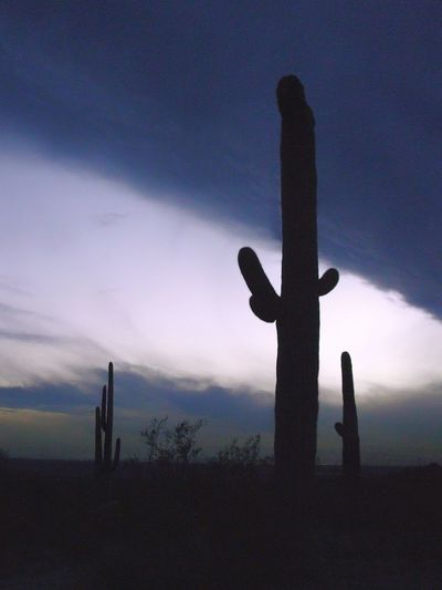 Multiple Saguaro Cactus, dramatic, overcast sunset. Silhouette Sky Sunset Outdoors No People Beauty In Nature Nature Scenics Day EyeEmNewHere Beauty In Nature Saguaros Saguaro Cactus Saguaro Cacti Overcast Sunset Dark Blue Sunset Arizona Sunsets Multiple Saguaro Cactus Backgrounds EyeEmNewHere