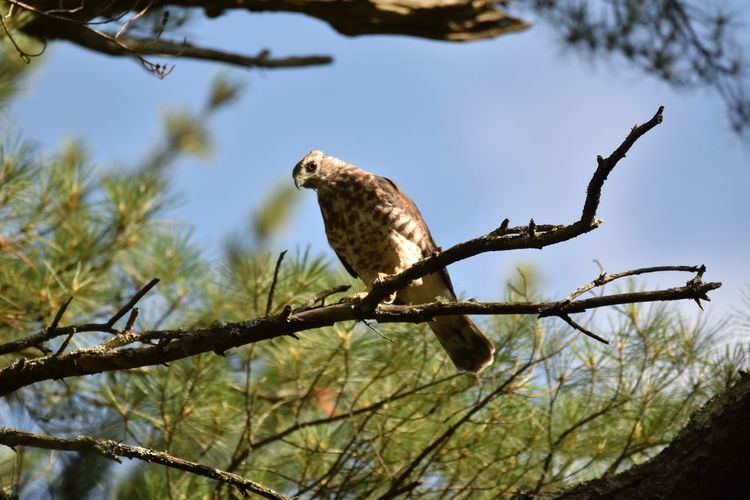 I Spy Animal Themes Animals In The Wild Avian Beak Beauty In Nature Bird Branch Day Focus On Foreground Hawk Nature No People One Animal Outdoors Perching Sharped-shinned_hawk Tranquility Tree Wildlife Zoology
