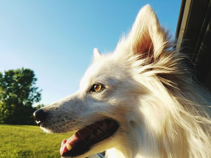 Dog One Animal Pets Mammal Mouth Open Domestic Animals Day Outdoors Close-up Animal Themes No People Sky Nature American Eskimo Animal Head  Animal Pet Portraits