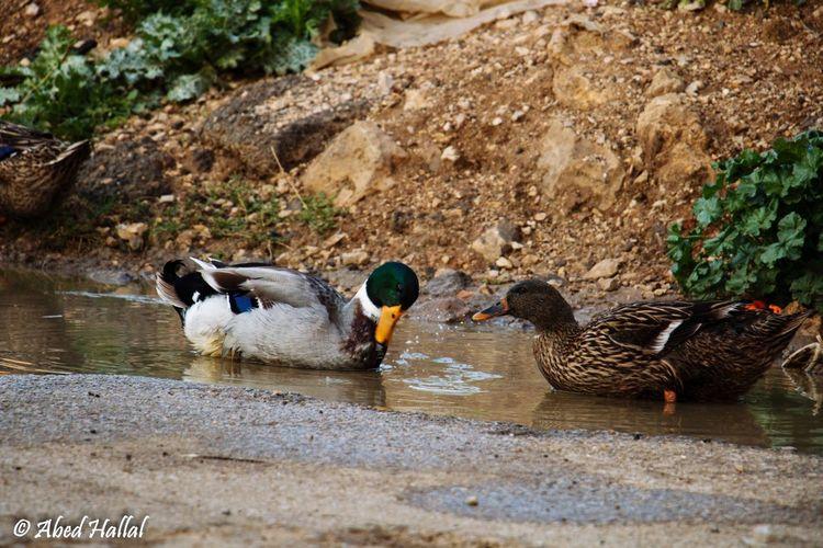 Lebanon Morning Nature Animals Lovley  Taking Photos Ducks Water