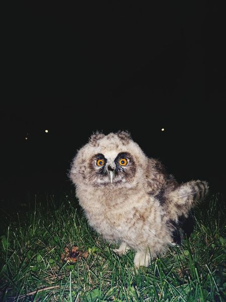 One Animal Grass Nature Night No People Looking At Camera Portrait Outdoors Black Background Close-up Animal Themes UnderSea Owl Art Owllife Owl Photography Owls💕