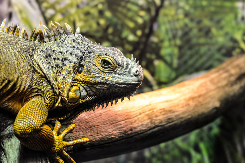 Animal Wildlife Reptile Animals In The Wild Lizard One Animal Close-up Day No People Animal Themes Iguana Nature Outdoors Tree