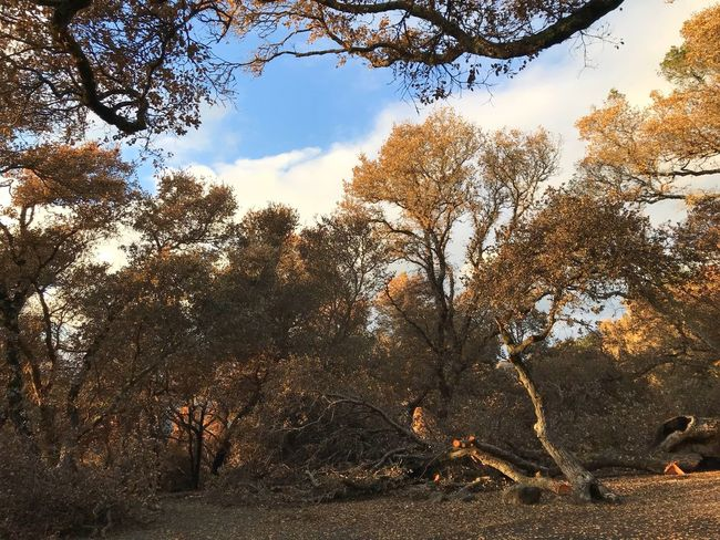 Tree Nature Branch Autumn Outdoors No People Beauty In Nature Sky Day Forest Scenics Landscape Bare Tree Wine Country Fire Damage Tubbs Fire Oak Forest Burned Trees Damaged Trees