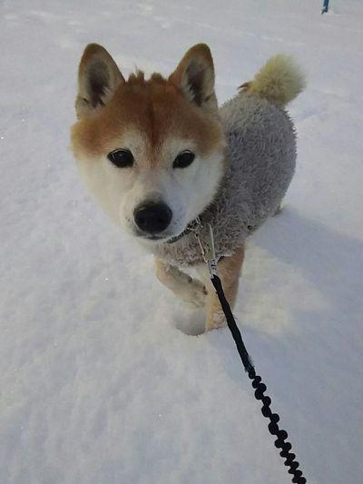 #豆柴 #柴犬 #しばいぬ #日本犬 #犬 #ペット #雪 #寒い Pets Portrait Dog Looking At Camera Winter