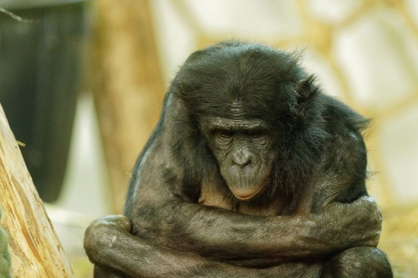 Monday Blues Monkey Primate Animal Themes Animal Ape Animal Wildlife Animals In The Wild Chimpanzee
