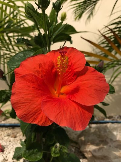 Hibiscus Flower Petal Flower Head Beauty In Nature Fragility Nature Plant Hibiscus Red Close-up No People Blooming