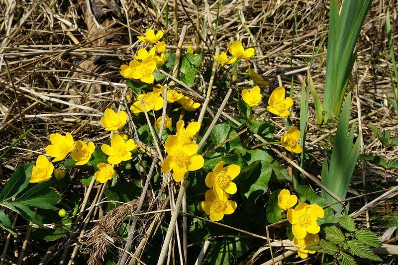 Marsh Marigold Marigold Growing Island Lövstabukten Sweden Nature May Naturelovers Flower Yellow Close-up Plant Blooming