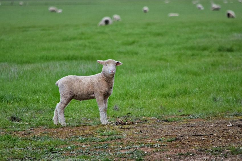 Lamb Lambs Sheep Springtime Spring Spring Time Spring Has Arrived Spring Is In The Air Young Animal Wooly Animals On The Farm Grass Field Lambing Lambs And Sheep Lambs Playing And Relaxing Farm Animals