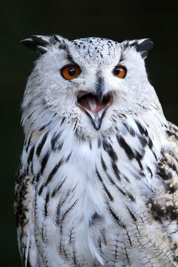 Close-up portrait of white owl calling