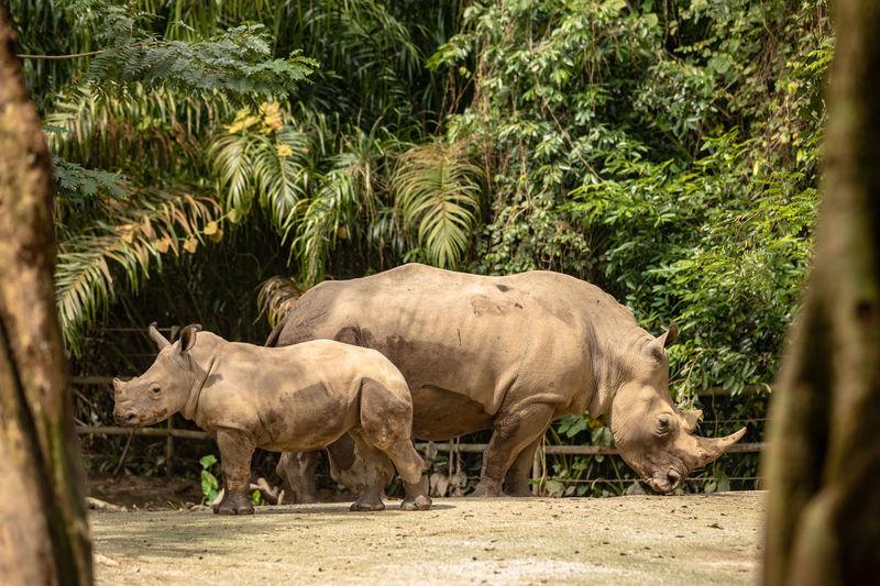 Rhinoceros White Rhinoceros Rhino Males  BIG Singapore Zoo Animal Animal Themes Mammal Vertebrate Animal Wildlife Day Nature Plant No People Tree Outdoors Herbivorous Mother And Child Cow Calf Togetherness Family