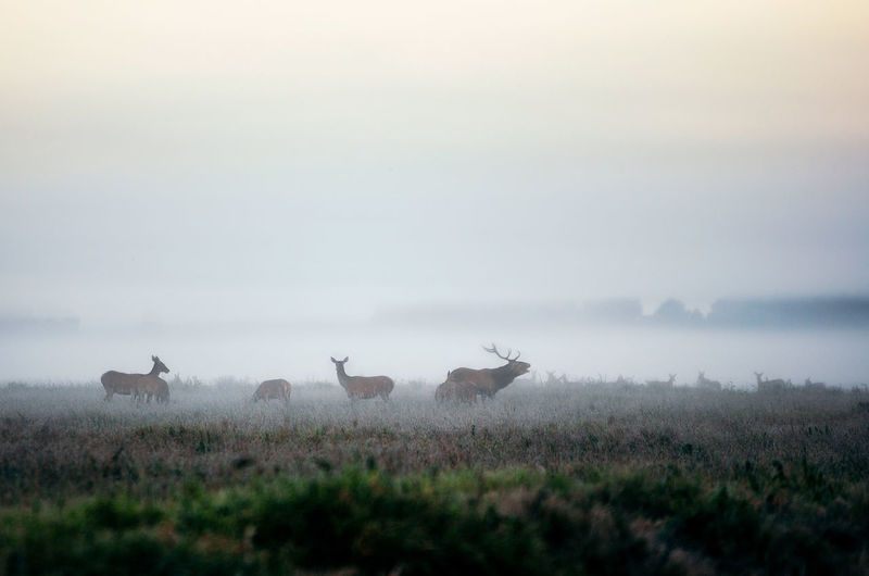 Deer in foggy field