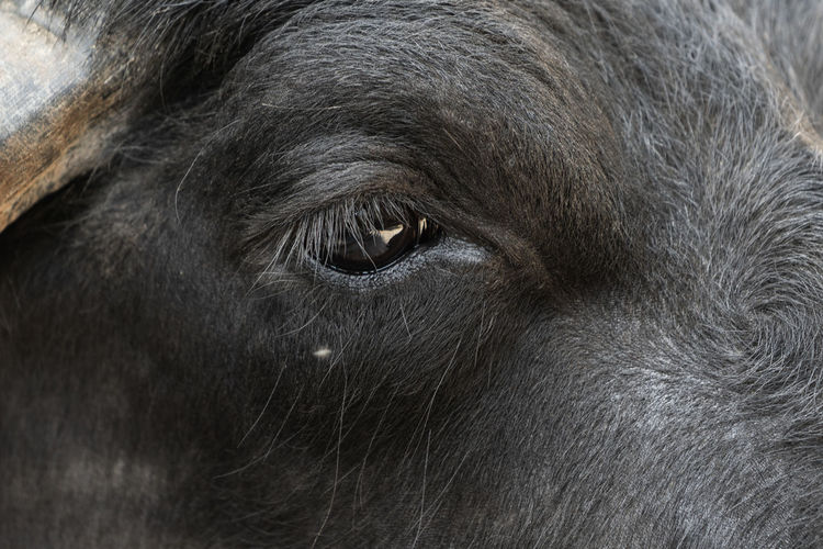 Eye of a water buffalo Buffalo Eye Of A Water Buffalo Water Buffalo Animal Animal Body Part Animal Eye Animal Head  Animal Themes Animal Wildlife Animals In The Wild Black Color Close-up Day Domestic Domestic Animals Eye Herbivorous Livestock Mammal No People One Animal Pets Portrait Vertebrate