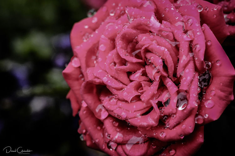 Beauty In Nature Blooming Close-up Drop Flower Flower Head Fragility Freshness No People Petal Pink Color Plant RainDrop Rose - Flower Wet