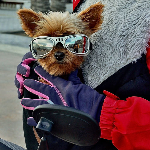 Portrait of dog on sunglasses during winter