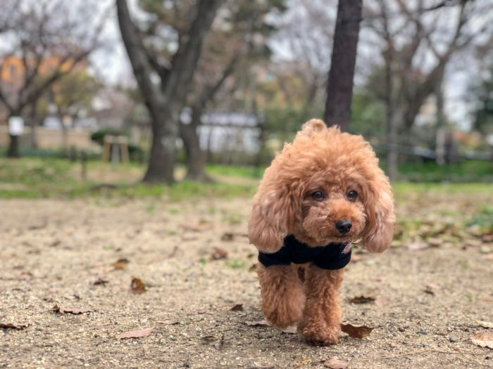 Toypoodle One